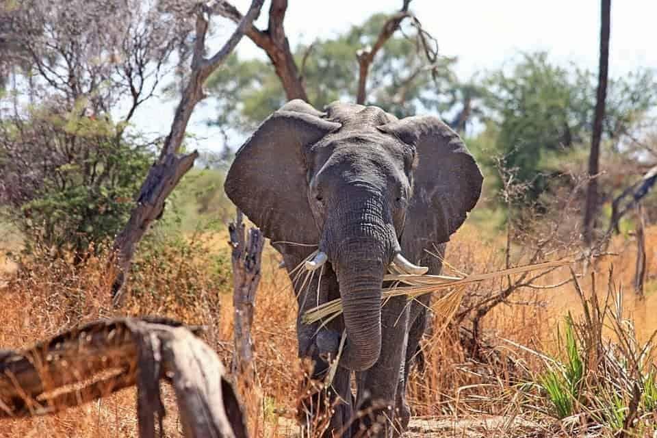 afs elephant