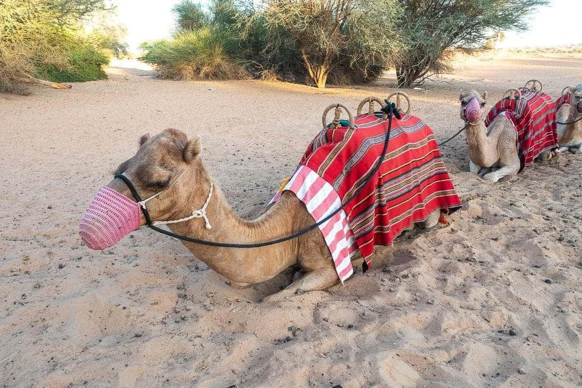 al-maha-activites-chameau-