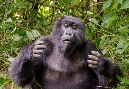 Gorille de montagne Rwanda